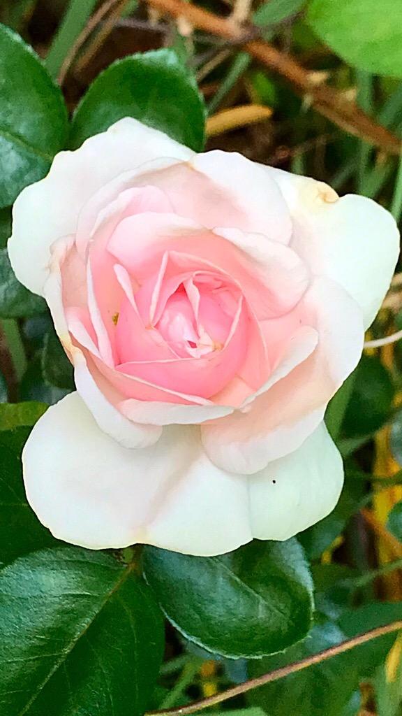 Enjoy the RosesNow