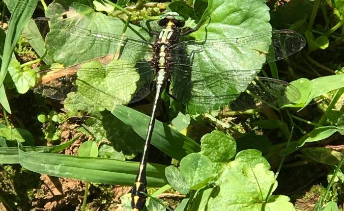 Dragonflies in West Virginia