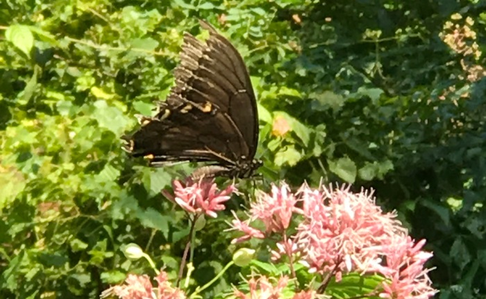 Butterflies in West Virginia
